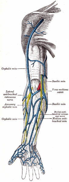Gray's Anatomy: superficial veins of the upper limb